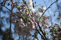 2011-04-02 12-49-05_cherry.JPG